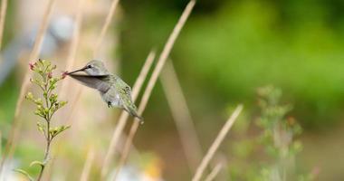 de vrouwelijke kolibrie van Anna bij bloem foto