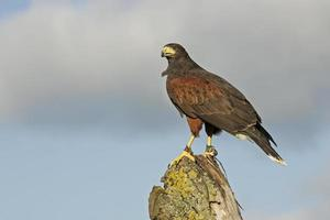 Harris Hawk, parabuteo unicinctus foto