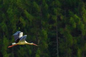 vliegende witte ooievaarsvogel foto
