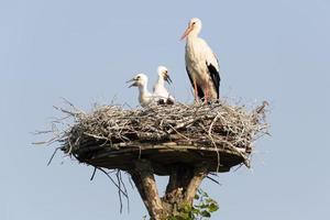 witte ooievaar (ciconia ciconia) nest foto