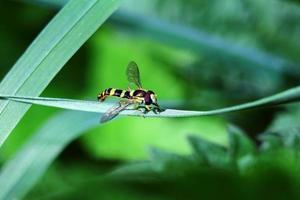 vliegen met gekleurde wespen