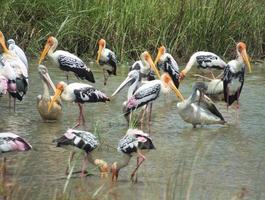 zwerm geschilderde ooievaar, pelikanen voeden zich intens foto