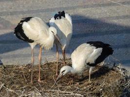 jonge witte ooievaars op nest foto
