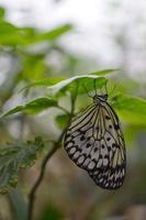 witte vlinder foto