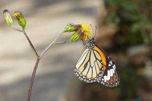 gemeenschappelijke tijgervlinder op bloem foto