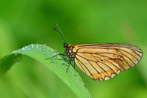 gele vlinder foto