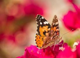 vlinder, geschilderde dame, spanje op een rozerode bourgenvillabloem foto