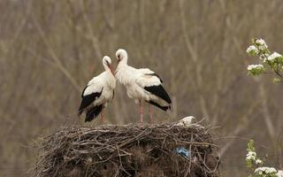 paar witte ooievaars in nest foto