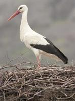 witte ooievaar in nest foto