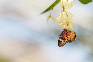 Leopard lacebutterfly (cethosia cyane) zuigt nectar foto