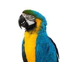 blauwe ara op witte achtergrond foto