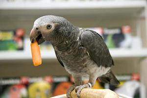 Afrikaanse grijze papegaai die een wortel eet foto