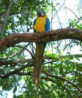 Ara papegaai foto