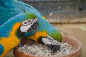 blauwe papegaai foto