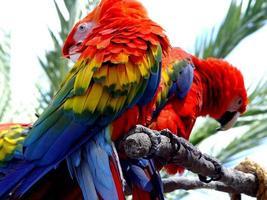 rode fora van de ara tropische papegaai foto