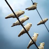 witte kaketoes op telefoondraden foto