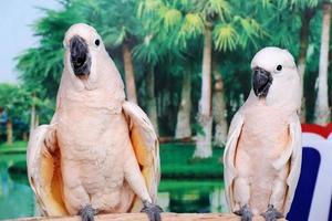 prachtige twee witte papegaaien foto