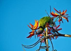 Australische halsband, achtentwintig papegaai. barnardius zonarius semitorquatus