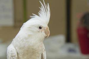 witte valkparkiet, zeldzame kleur foto
