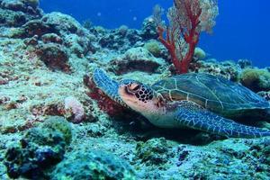 groene zeeschildpad in de pauze foto