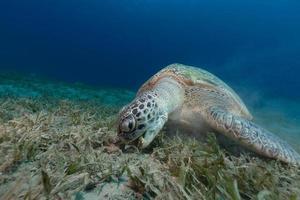 vrouwelijke groene schildpad die zeegras eet. foto