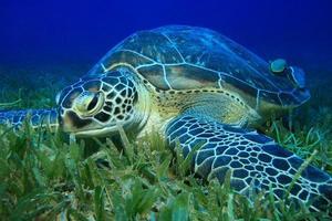 groene schildpad foto