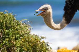 struisvogel eten foto