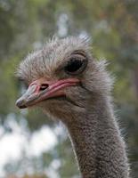 struisvogel hoofd geschoten in Adelaide foto