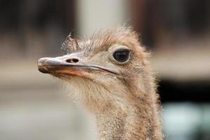 struisvogel vogel foto
