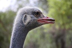 struisvogel oog foto