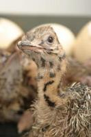 struisvogel kuiken foto