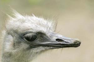 struisvogel close-up foto