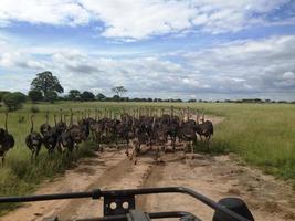 kudde struisvogels foto