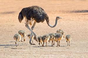 struisvogel met kuikens foto