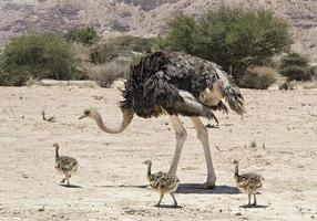 vrouwtje van Afrikaanse struisvogel met zijn jonge kuikens foto