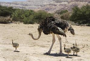 Afrikaanse struisvogel met jonge kuikens in natuurreservaatpark foto