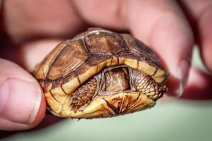 hand met een baby schildpad, kleurenafbeelding foto