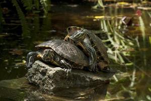drie schildpad foto