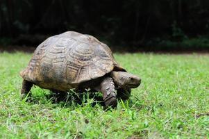 Afrikaanse aangespoorde schildpad in gras