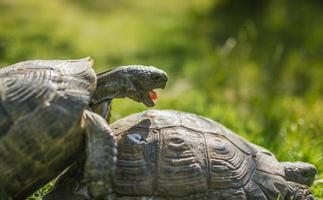 kleine schattige schildpad in de groene garss foto