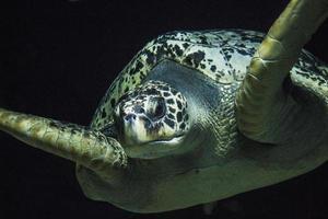gigantische schildpad foto