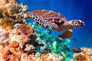 karetschildpad - eretmochelys imbricata foto