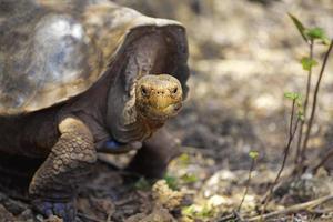 galapagos-schildpad foto