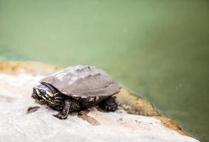 close-up gezicht van vuile schildpad op steen uit vijver