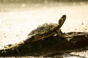 geschilderde schildpad
