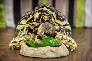 luipaardschildpad die komkommer eet