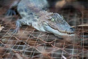 de krokodil foto