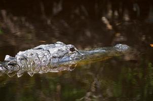 grote alligator in florida moeras foto