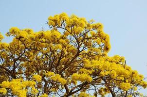 tabebuia arentea britt (gouden boom, gele pui) foto