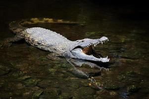 grote krokodil in water foto